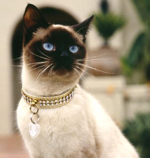 Почему Вы решили завести то или иное животное? - siamese_cat_necklace.jpg