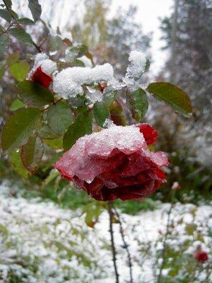 Декоративные садовые растения. - PICT5122.JPG