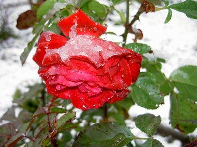 Декоративные садовые растения. - PICT5125.JPG