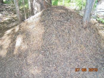 Муравейник. А муравьи просто огромные. Парочка пробралась под штанину и покусали-таки-  - DSC01795.JPG