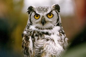 В мире животных фото, видео  - OWL_1.jpg