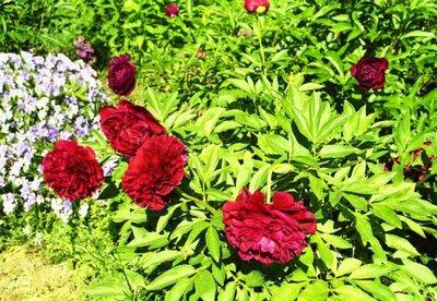 Декоративные садовые растения. - x_92ec3ae3.jpg