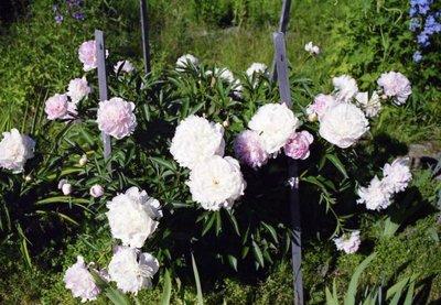 Декоративные садовые растения. - x_ea4c37f4.jpg