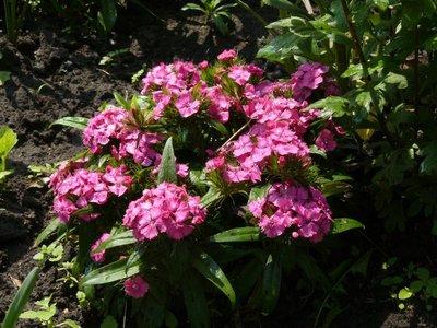 Декоративные садовые растения. - P1030861.JPG