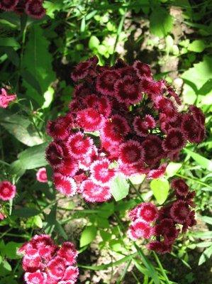 Декоративные садовые растения. - IMG_4935.jpg