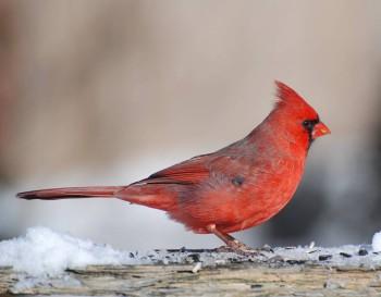 Птичий сад - CardinalMale2007.jpg