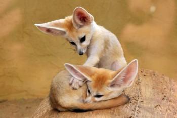В мире животных фото, видео  - lisichki-fenek.jpg
