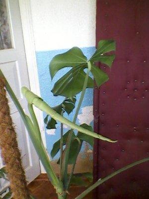 Мои комнатные растения. - Фото-0002.jpg