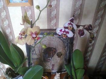 Мои комнатные растения. - Фото2650.jpg