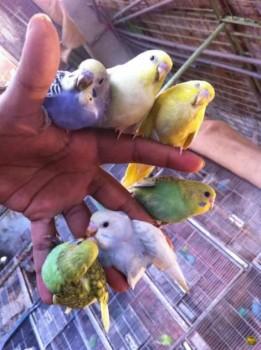 Попугайчики и все о них... - AGVc_6yqGjQ.jpg