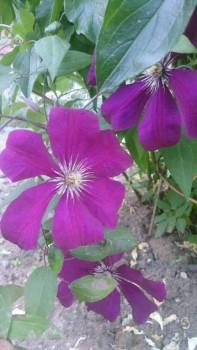 Декоративные садовые растения. - IMG-3baef6d7596c6a50873302aa27089b16-V.jpg