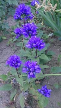 Декоративные садовые растения. - IMG-937378a0f0a6028d0d41a2c6df40c7d9-V.jpg