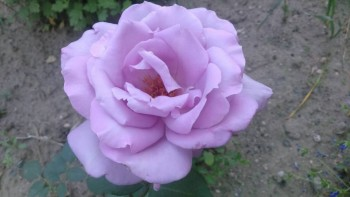 Декоративные садовые растения. - IMG-c2e1e95676b84359791b03ed84fbbe21-V.jpg