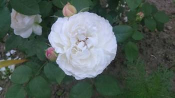 Декоративные садовые растения. - IMG-9720bb9901033573f0428d107d5ca87b-V.jpg