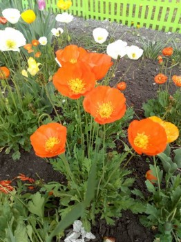 Декоративные садовые растения. - IMG_20180611_120351.jpg