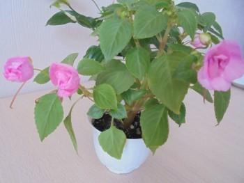 Мои комнатные растения. - DSC04372.JPG
