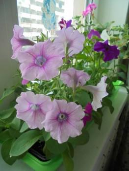 Мои комнатные растения. - DSC04375.JPG