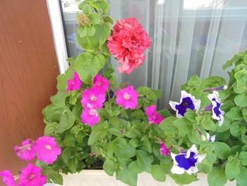 Мои комнатные растения. - DSC04382.JPG