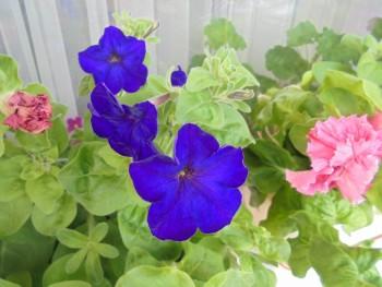 Мои комнатные растения. - DSC04384.JPG