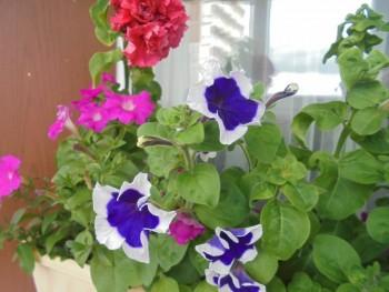 Мои комнатные растения. - DSC04386.JPG